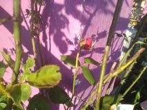 longue tige de roses sur le buisson photo libre de droits