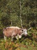 Longue vache anglaise à klaxon Image stock