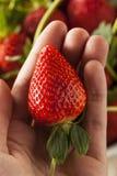 Longues fraises organiques crues de tige Photos libres de droits