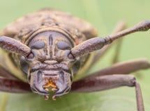 Longues images de scarabée de klaxon Images libres de droits