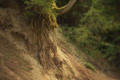 Longues racines puissantes et fortes dans le sable sur le flanc de coteau de la terre qui a abaissé, un jeune arbre entouré par image libre de droits