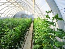 Longues rangées des vignes de concombre à se développer verticalement en serre chaude photo libre de droits