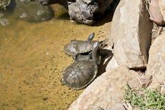 Longues tortues étranglées Images libres de droits
