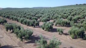 Longueur aérienne au-dessus d'une plantation olive banque de vidéos