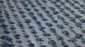 Longueur aérienne au-dessus d'une plantation olive clips vidéos
