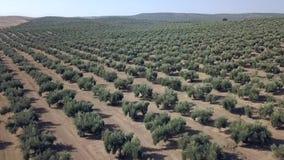 Longueur aérienne au-dessus d'une plantation olive à Jaen banque de vidéos