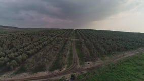 Longueur aérienne au-dessus d'une plantation olive en Israël banque de vidéos
