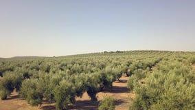 Longueur aérienne au-dessus d'une plantation olive i banque de vidéos