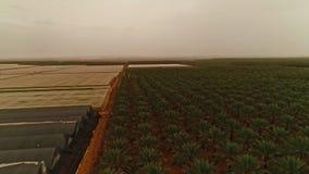 Longueur aérienne des maisons nettes avec des plantations de banane banque de vidéos