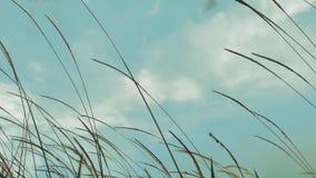 Longueur de HD du foyer et de l'herbe blanche brouillée de mission de couleur coulant par le vent violent banque de vidéos