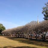 Longueur de la ligne d'arbre de Frangipani Photographie stock