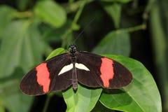 longwing在叶子的热带蝴蝶恶作剧 图库摄影