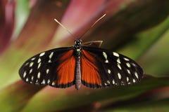 longwing在绿色叶子的热带蝴蝶恶作剧 免版税库存图片