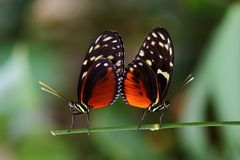 longwing热带蝴蝶的恶作剧的交配季节 免版税库存图片