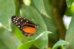 longwing的老虎- Heliconius hecale,美丽的橙色蝴蝶 免版税库存图片