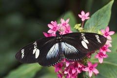 longwing蝴蝶的doris 免版税图库摄影
