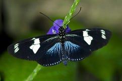 longwing蝴蝶的doris 图库摄影