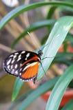 longwing蝴蝶的hecale 图库摄影