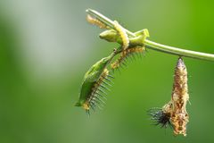 Longwing蝴蝶Heliconius cydno毛虫, 免版税库存照片