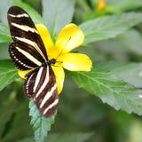 longwing με ραβδώσεις πεταλούδ Στοκ Εικόνες