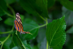 Longwing πεταλούδα τιγρών που στέκεται σε ένα φύλλο, έτοιμο για την απογείωση στοκ εικόνα