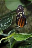 longwing τίγρη πεταλούδων Στοκ Εικόνες