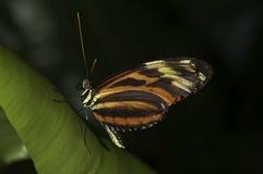 longwing τίγρη Στοκ εικόνες με δικαίωμα ελεύθερης χρήσης