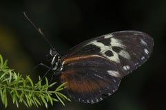 longwing τίγρη Στοκ φωτογραφία με δικαίωμα ελεύθερης χρήσης