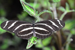 longwing зебра Стоковое фото RF
