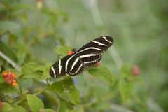longwing蝴蝶的斑马 免版税库存图片