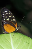 Longwing Royalty Free Stock Photos