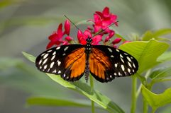 Longwing anaranjado Fotos de archivo libres de regalías