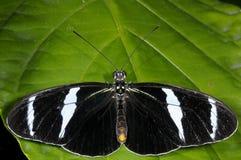 longwing antiochus的heliconius 库存图片