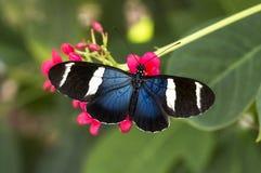 Longwing azul Fotos de archivo libres de regalías