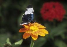 Longwing azul y blanco de la mariposa sorbe el néctar Foto de archivo