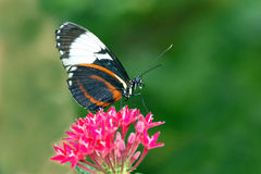 The Longwing Butterfly. This Longwing Butterfly tastes terrible to birds who warned by its coloration Stock Photo