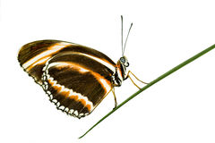 Longwing butterfly Stock Images