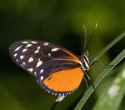Longwing Butterfly. Heliconius becale; Golden Helicon. Range: Mexico to Peru Stock Photos