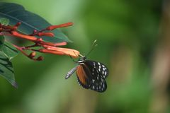 Longwing Butterfly Clinging to the Top of an Orange Flower stock photography
