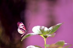 Longwing butterfly on green leaf Royalty Free Stock Images