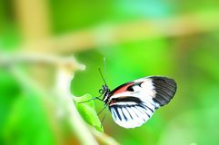 Longwing butterfly on green leaf, Florida Royalty Free Stock Images
