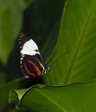 Longwing butterfly (Heliconius cydno). At rest on a leaf, photographed in Costa Rica Stock Images