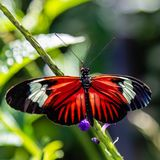 Longwing butterfly Heliconius xanthocles zamora possibly on a green stem. With widespread wings resting photographed at the Butterfly World Coconut Creek stock photography