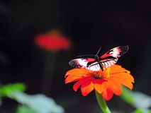 Longwing butterfly on Mexican sunflower Stock Photos