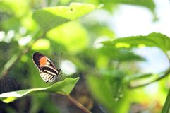 Longwing butterfly & rain on green leaf Royalty Free Stock Photos