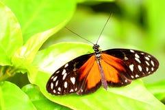 Longwing de oro, mariposa de Heliconiid en la hoja verde Imagen de archivo libre de regalías