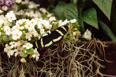 Longwing fjäril för sebra, Heliconius charitonius Arkivbilder