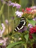 Longwing fjäril för sebra, Heliconius charitonius Fotografering för Bildbyråer