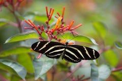 Longwing fjäril för sebra i Florida annalkande nektar från en firebush Royaltyfri Bild