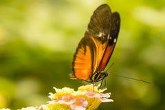 Longwing fjäril som matar på Lantana Arkivbild